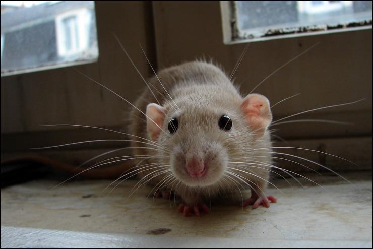 szczur-domowy-hodowlany